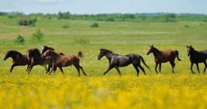 sève de bouleau chevaux